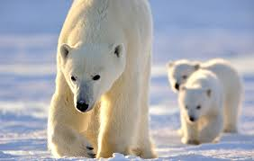 polar bears are now on the endangered species list