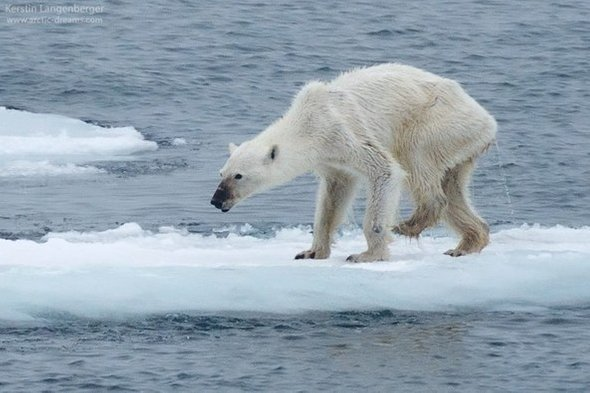 A starving polar bear searches for food